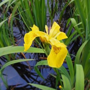 Photographie n°1333299 du taxon Iris pseudacorus L. [1753]