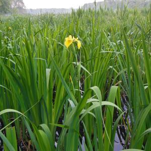 Photographie n°1333301 du taxon Iris pseudacorus L. [1753]