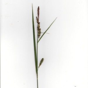 Photographie n°1334833 du taxon Carex elata All. [1785]