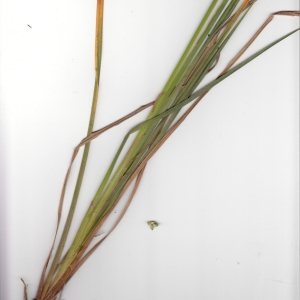 Photographie n°1334834 du taxon Carex elata All. [1785]