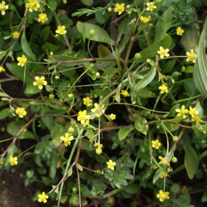 Photographie n°1336257 du taxon Ranunculus ophioglossifolius Vill. [1789]