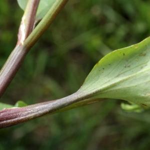 Photographie n°1336297 du taxon Ranunculus ophioglossifolius Vill. [1789]