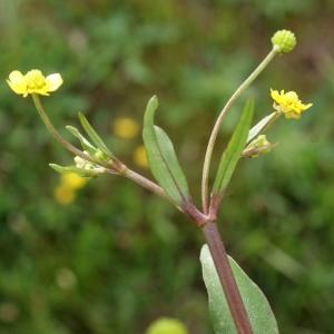 Photographie n°1336298 du taxon Ranunculus ophioglossifolius Vill. [1789]