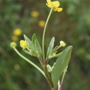 Photographie n°1336306 du taxon Ranunculus ophioglossifolius Vill. [1789]