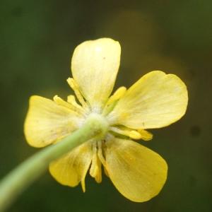 Photographie n°1336319 du taxon Ranunculus ophioglossifolius Vill. [1789]