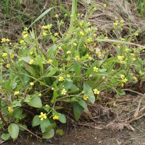 Photographie n°1336334 du taxon Ranunculus ophioglossifolius Vill. [1789]