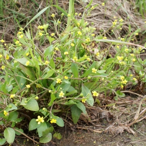 Photographie n°1336343 du taxon Ranunculus ophioglossifolius Vill. [1789]