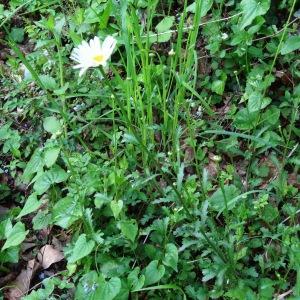 Photographie n°1340638 du taxon Leucanthemum vulgare Lam. [1779]