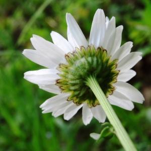 Photographie n°1340676 du taxon Leucanthemum vulgare Lam. [1779]