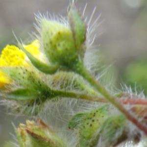 Tuberaria praecox (Salzm. ex Boiss. & Reut.) Grosser (Hélianthème précoce)