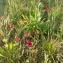 Florent Beck - Linum grandiflorum Desf.