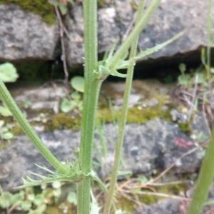 Photographie n°1348870 du taxon Crepis L. [1753]