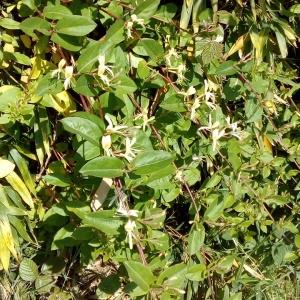 Photographie n°1353546 du taxon Lonicera japonica Thunb. [1784]