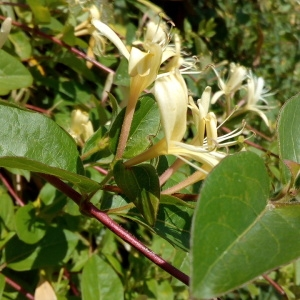 Photographie n°1353548 du taxon Lonicera japonica Thunb. [1784]