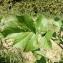 Florent Beck - Sinapis arvensis L.