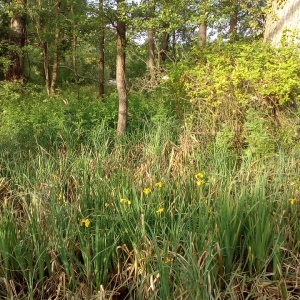 Photographie n°1353605 du taxon Iris pseudacorus L. [1753]