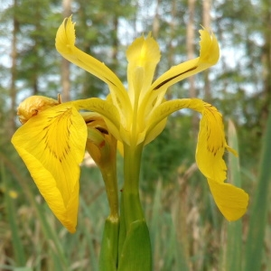 Photographie n°1353610 du taxon Iris pseudacorus L. [1753]
