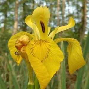 Photographie n°1353614 du taxon Iris pseudacorus L. [1753]