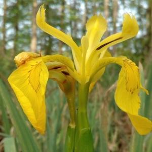 Photographie n°1353615 du taxon Iris pseudacorus L. [1753]