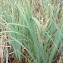 Florent Beck - Iris pseudacorus L.