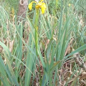 Photographie n°1353621 du taxon Iris pseudacorus L. [1753]