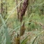 Florent Beck - Carex riparia Curtis [1783]