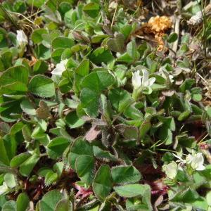 Photographie n°1364313 du taxon Trifolium subterraneum L. [1753]