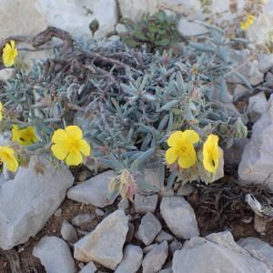 Photographie n°1374502 du taxon Helianthemum syriacum (Jacq.) Dum.Cours. [1802]