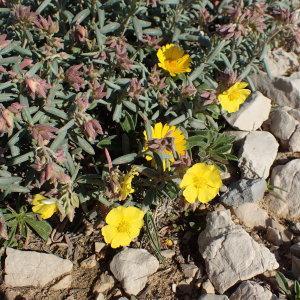 Photographie n°1374507 du taxon Helianthemum syriacum (Jacq.) Dum.Cours. [1802]