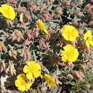 Photographie n°1374515 du taxon Helianthemum syriacum (Jacq.) Dum.Cours. [1802]