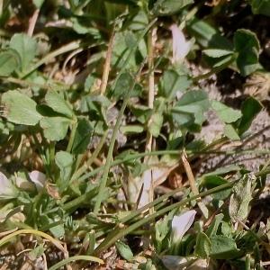 - Trifolium ornithopodioides L. [1753]