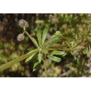 Galium aparine subsp. aparinella (Lange) Jauzein (Petit Gratteron)