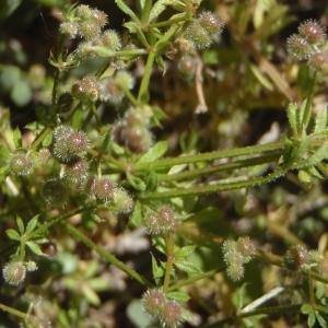 - Galium aparine subsp. aparinella (Lange) Jauzein [1995]