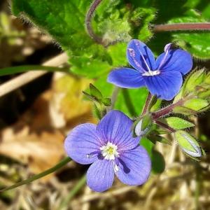 Photographie n°1378733 du taxon Veronica chamaedrys L. [1753]