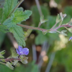 Photographie n°1382761 du taxon Veronica chamaedrys L. [1753]