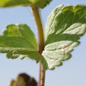 Photographie n°1382798 du taxon Veronica chamaedrys L. [1753]