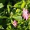 Sylvain Piry - Trifolium resupinatum L. [1753]
