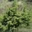 Sylvain Piry - Juniperus communis L. [1753]