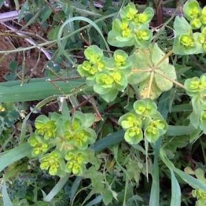 Photographie n°1397557 du taxon Euphorbia peplus L. [1753]
