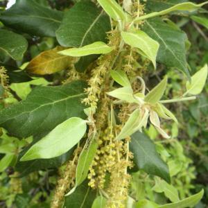 Photographie n°1398695 du taxon Quercus suber L. [1753]