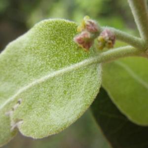 Photographie n°1398709 du taxon Quercus suber L. [1753]