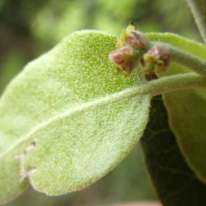 Photographie n°1398712 du taxon Quercus suber L. [1753]