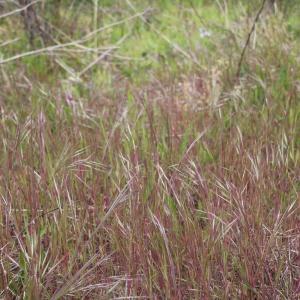 Photographie n°1401556 du taxon Bromus sterilis L. [1753]
