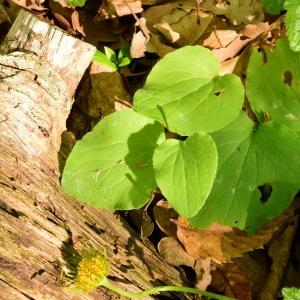 Photographie n°1405398 du taxon Doronicum plantagineum L.