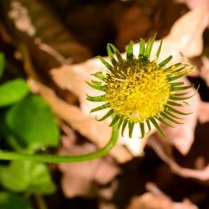 Photographie n°1405399 du taxon Doronicum plantagineum L.
