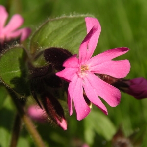 Silene dioica (L.) Clairv. (Compagnon rouge)