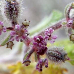 Pseudorlaya pumila (L.) Grande (Fausse Girouille des sables)