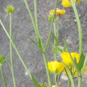 Photographie n°1416862 du taxon Ranunculus macrophyllus Desf.