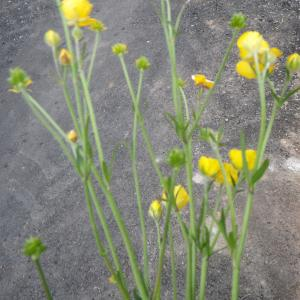 Photographie n°1416865 du taxon Ranunculus macrophyllus Desf.