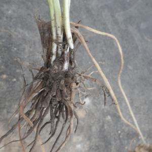 Photographie n°1416870 du taxon Ranunculus macrophyllus Desf.